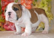 Male and female Bulldog puppies for good home