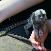 playful,  Little Capuchin marmoset Babies