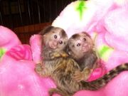 NGSV  Capuchin pygmy marmoset available 07031964582