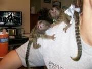 IR8 Adorable Twin Pygmy Marmoset and Capuchin 07031957695