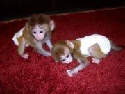 US7 Adorable Twin Pygmy Marmoset and Capuchin 07031957695
