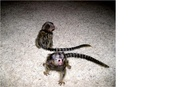 GFFG  adorable little Wonderful Pygmy Marmoset and Capuchin 0703195769