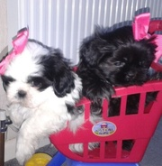 Ready Now Shih Tzu Tiny Little Thing